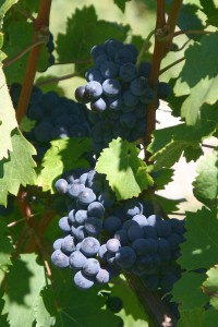 winery grapes